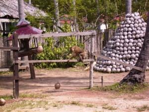 Affe macht sich warm zur Kokosnussernte