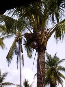 Affe auf der Palme beim Ernten von Kokosnüssen