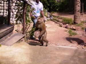 Affe mit frisch geernteter Kokosnuss