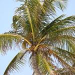 Palme am Strand von Tulum
