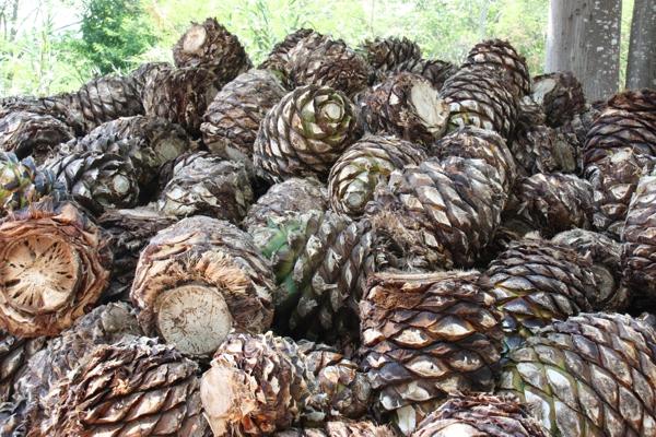 Agaven - Rohstoff für die Herstellung von Agavenschnaps