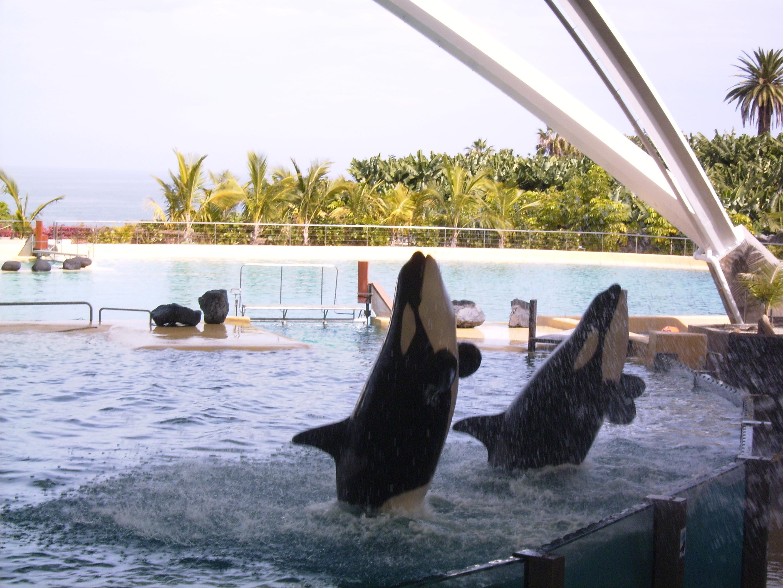 Orca Show im Loro Parque auf Teneriffa