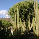 Kaktusbäume im Kakteengarten