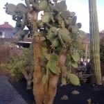 Großer Kaktus im Kaktusgarten