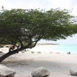 Typischer Divi-Divi-Baum auf Aruba