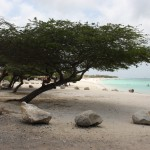 Divi Divi-Baum am Strand von Aruba