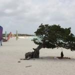 Divi-Divi auf Aruba