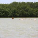Flamingos in freier Wildbahn auf Bonaire
