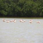 Flamingos im Pekelmeer