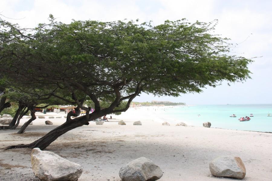 Divi-Divi am Eagle Beach auf Aruba
