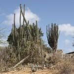 Wilde Kakteen auf Bonaire