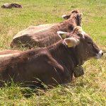 Allgäuer Kühe mit Kuhglocke
