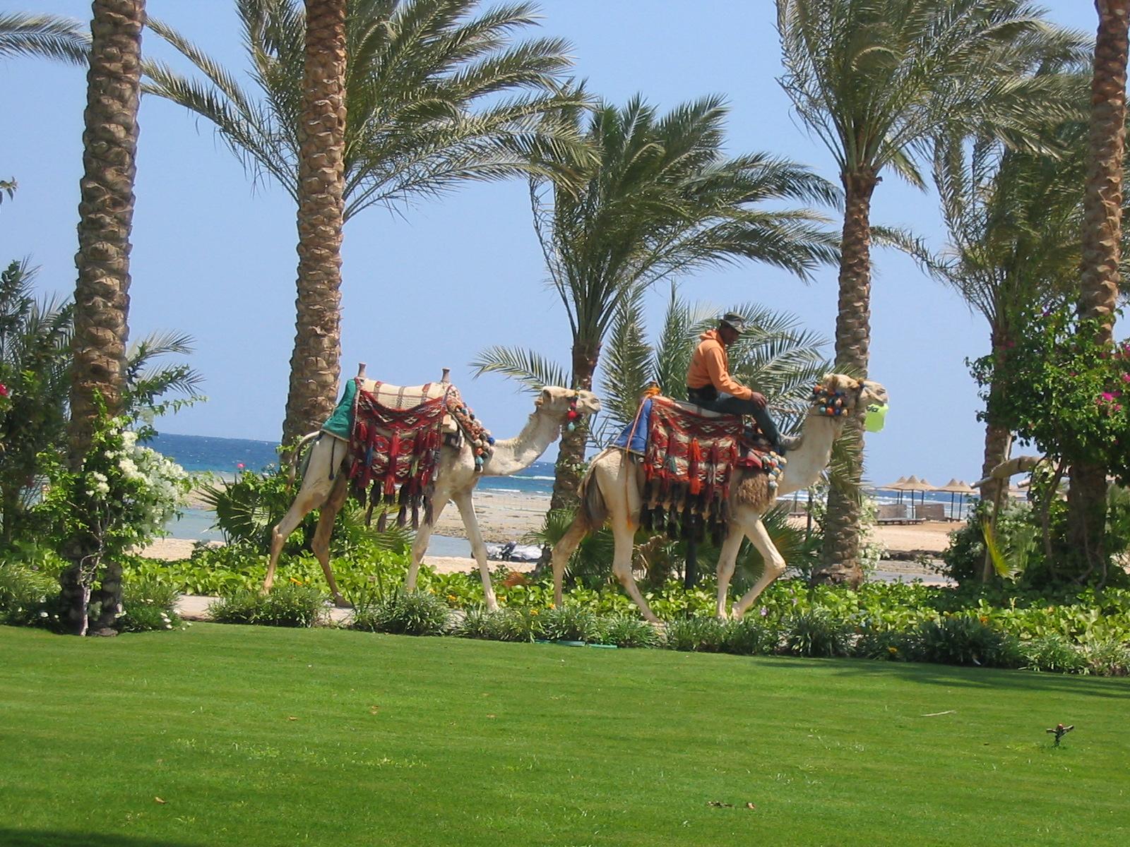 Kamelreiten im Hotelressort in Ägypten