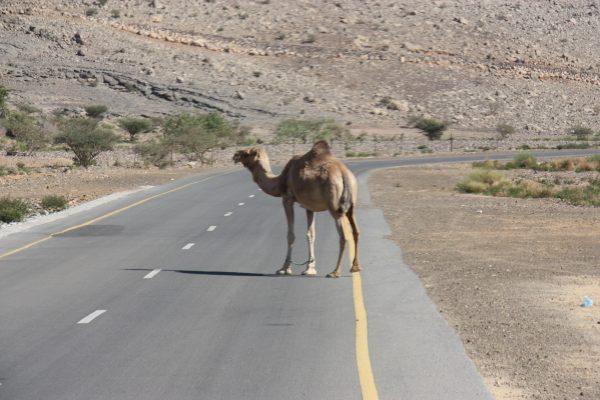 Kamele - Hindernisse im Straßenverkehr